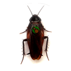 Smokey Brown Cockroach