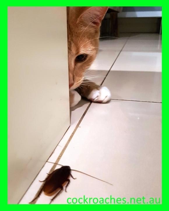 enviromentaly-friendly-cockroach-pest-control-sydney