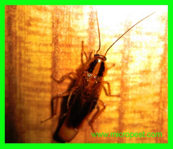 German Cockroaches Sydney