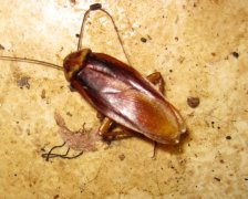 American Cockroach Pictures