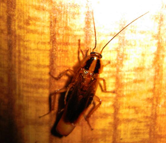 german cockroaches pictures