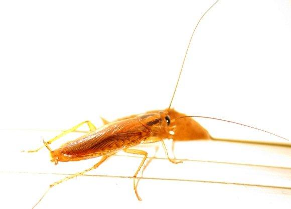 German Cockroach Sydney