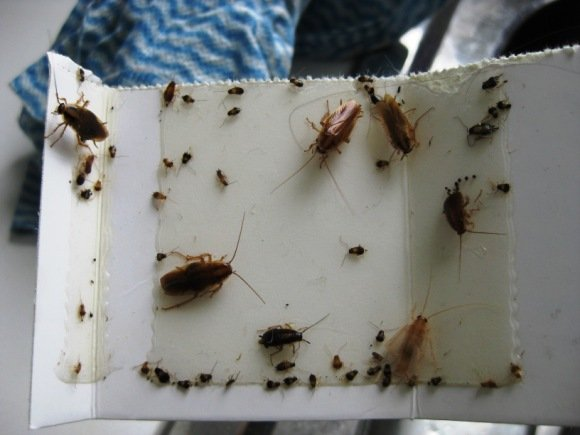 cockroaches control glue trap