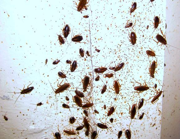 cockroaches Sydney